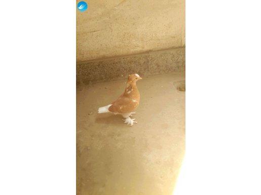 Kuş Disidir isteyene ön tepe portakalda elimizde mevcuttur