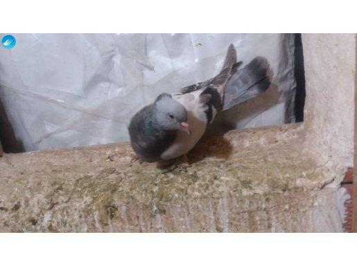 arkatepe sabunı dişi paslı mıskı ıkı adet mavı dişi