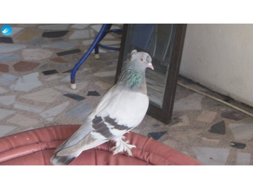 arkatepe sabunı dişi kuşlar