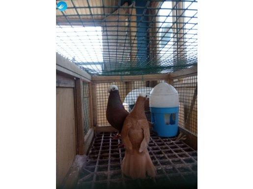 Hazır takım akbaş başka yavru yumurta garanti genç kuşlar