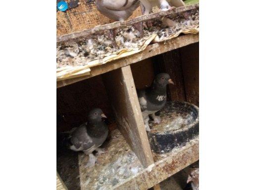 Takım eş mavi çapar genç kuşlar