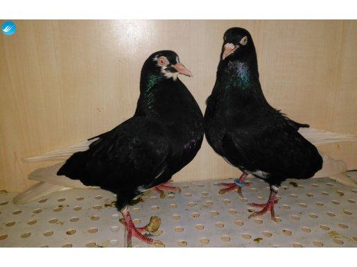 Eşli takım Bursa Selanik kuşu