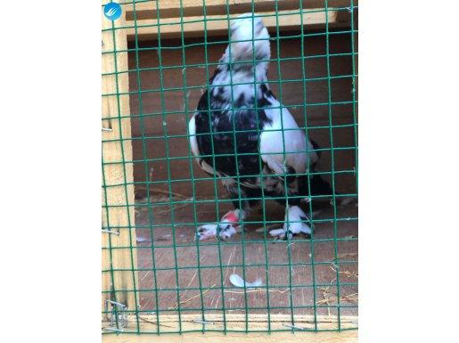 Çok güzel oynuyan bir Van kuşu