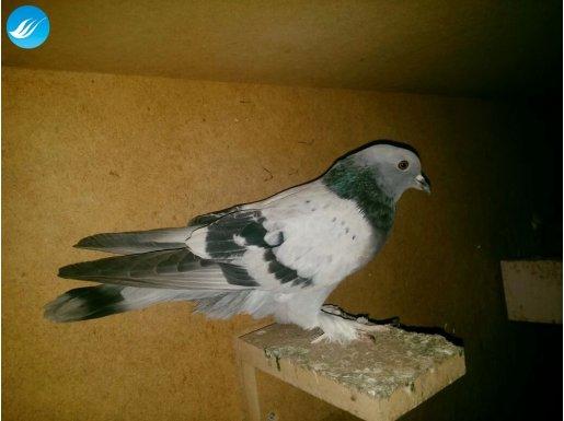 Has Mardin oyun kuşları
