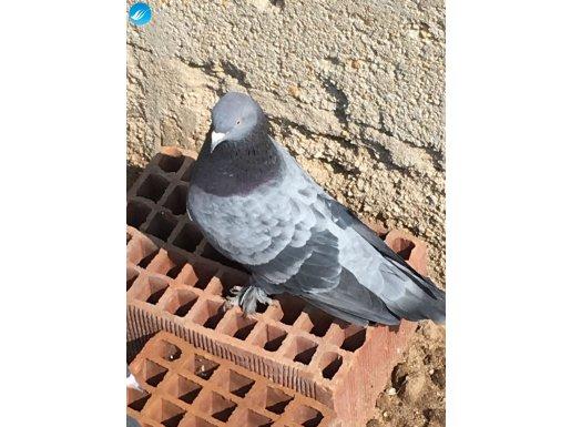 Oyun kuşu damızlık erkek