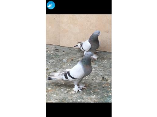 Performans oyun kuşu