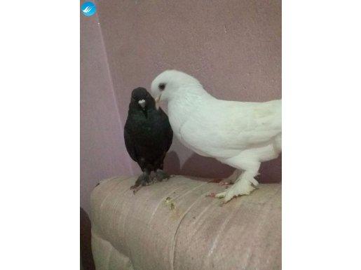 Çift beyaz ve siyah