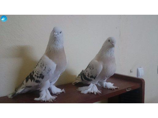 Güvercin dediğin böyle olur