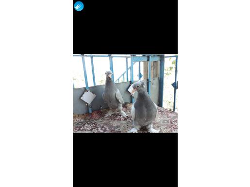 Kaliteli Vasıflı Temiz Güvercinler