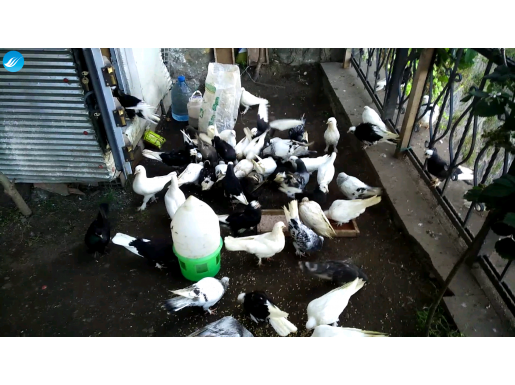 Güvercin satılık