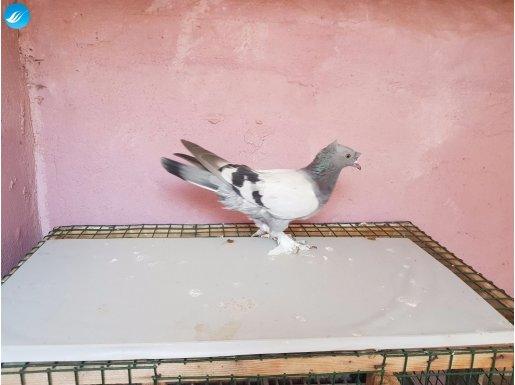 mardin güvercin