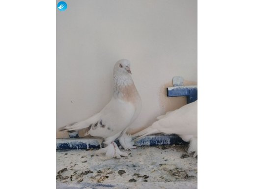 Sabuni beyaz basık