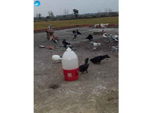Taklaci güvercin