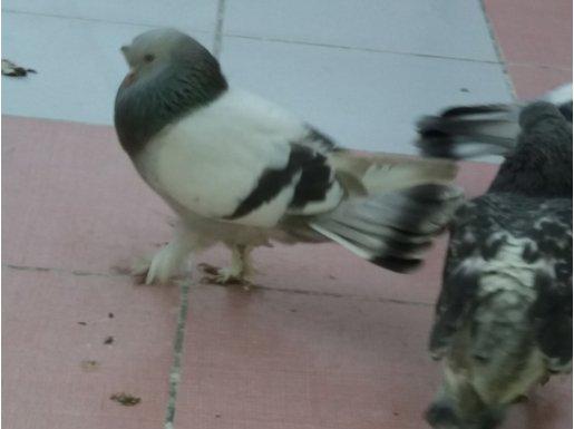 Taklacı 3 kuş