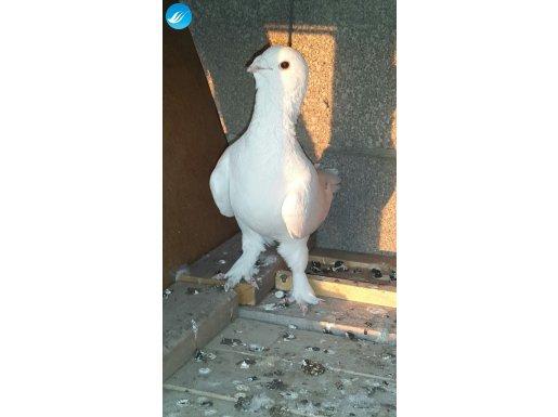 Orijinal patikli Adana güvercinleri