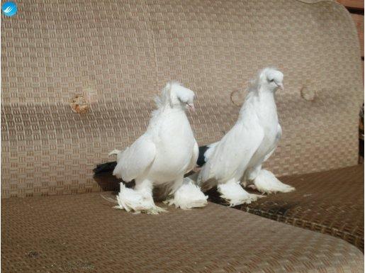 Kaşlı Kafkas Karakuyruklar