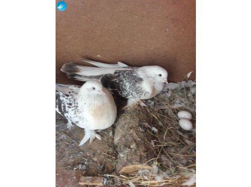 uygun fiyata cins sağlıklı güvercinler