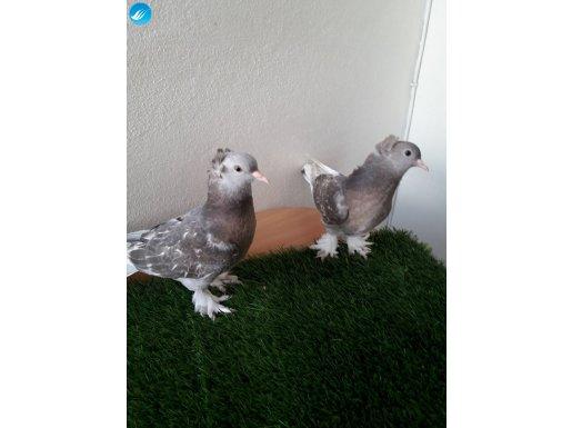 Paslı arkatepe yavrular