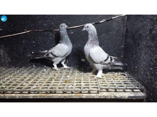 Hazırlanacak Kuşlar