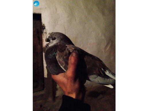 Harika Bu Güvercin