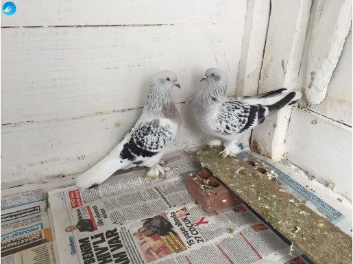 Harika kostüm kuşları