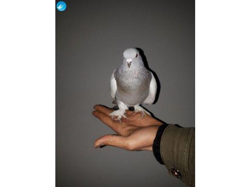 Oyuncu paçalı güvercin