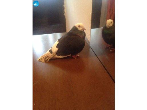 Akbaş erkek güvercin.