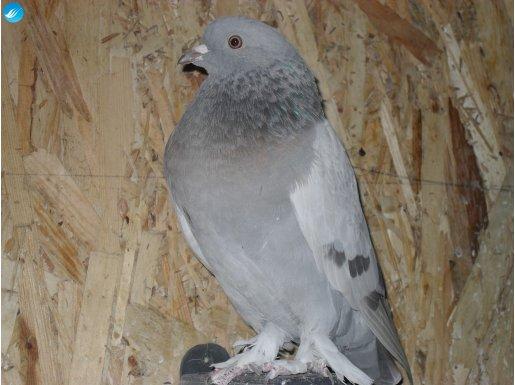 saatli oyunlu yavru güvercinler