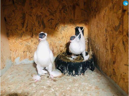 Balına güvercin mavi balın