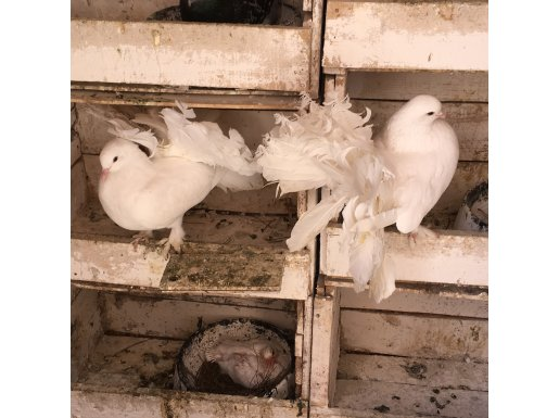 Bol paçalı yavru garantili tavus güvercini