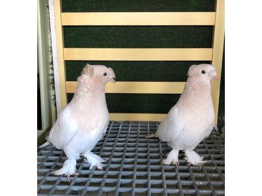 Çifttepe mermeri sağlıklı kuşlar.