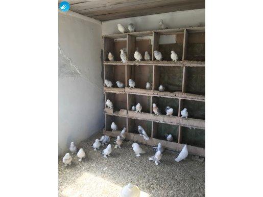 safkan kuşlar