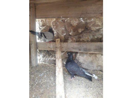 Güvercinka