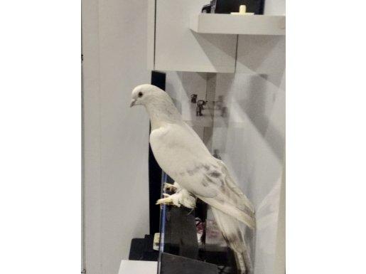 Yetişkin Erkek Şebap Güvercini