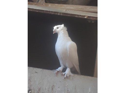 Fazla söze gerek yok kuşumun hüneri çok