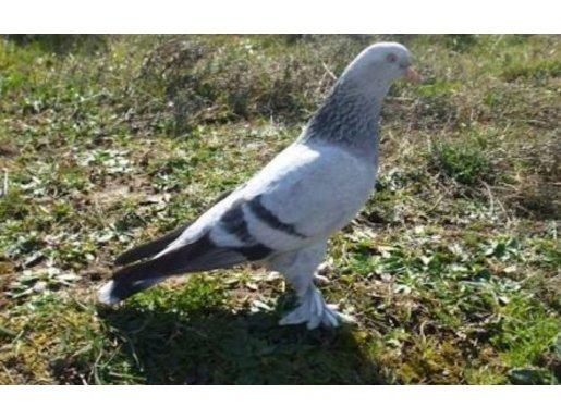 Babam vefat etti 50 yıllık damar kuşları satılık.