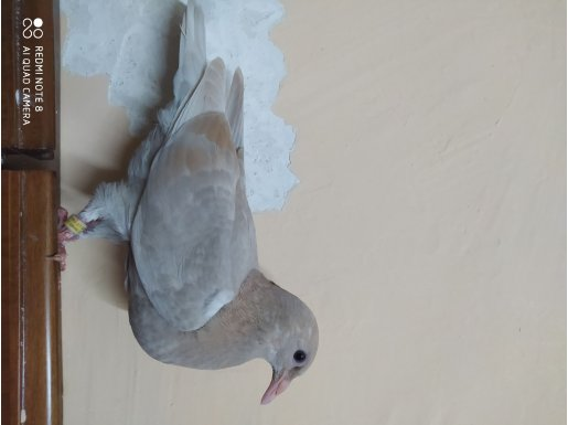 Uçmamış yavru posta