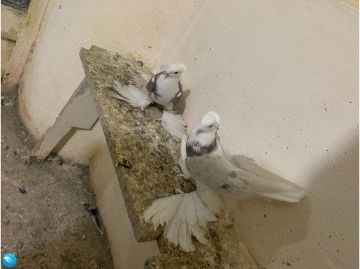 Malatya paçalı güvercinleri