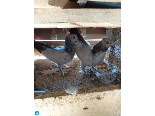 Wan kuşları