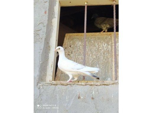 Bircok güvercin vardır mesaj atarsanız fotoğraflarını atarım