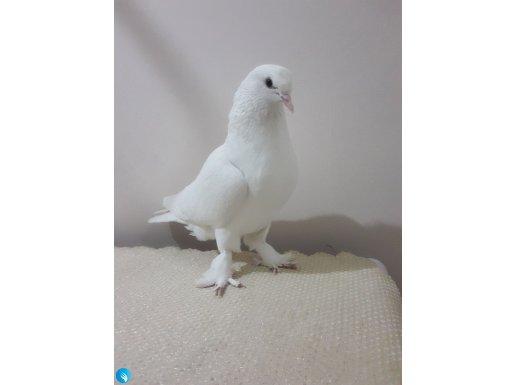 Oyunlu genç dişi (Kuş satılmıştır.)