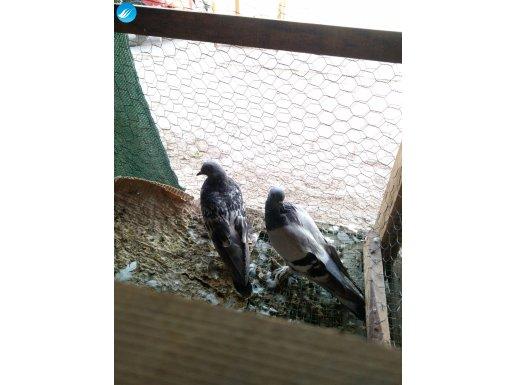 Taklacı güvercin çift Gök mavisi