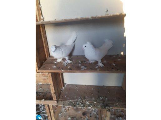 Damızlık yapılı sağlıklı kuşlar
