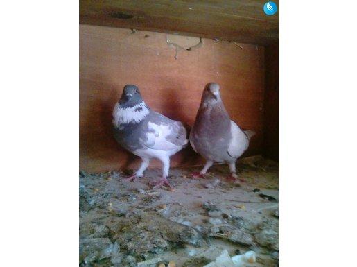 Posta ve dolap güvercin