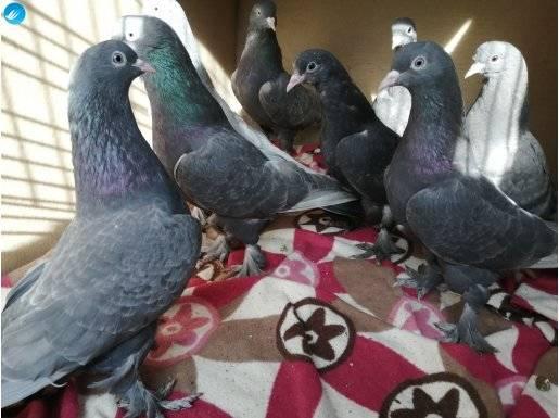 38 tane Seferli oyun kuşları satılık içerde dışarda oynar