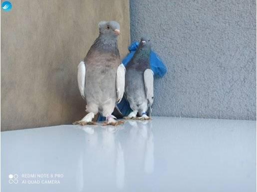 Taklacı Güvercin Seferli