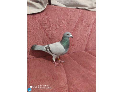 İrak kuşu yakaladim