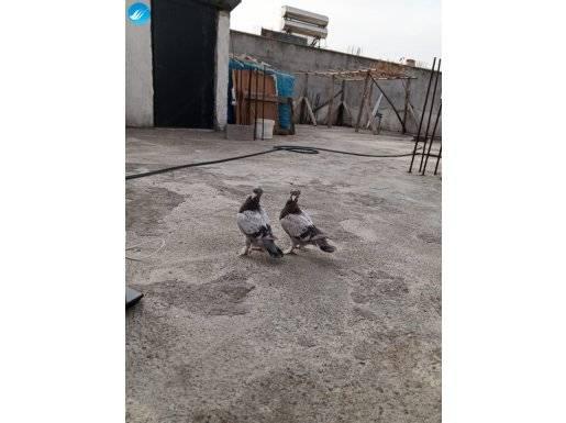 Çok temiz güzel kuşlardır damızlık kuslarimim yavrularıdır