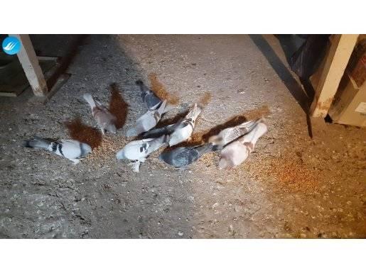 10 adet toplu satılık güvercin