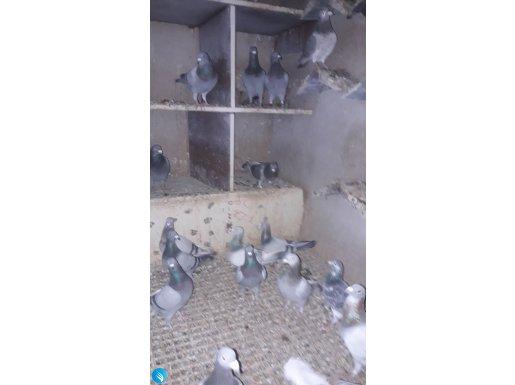 Kuşlar yariş kuşudur istanbul postada ankaraya kadar uçmuş